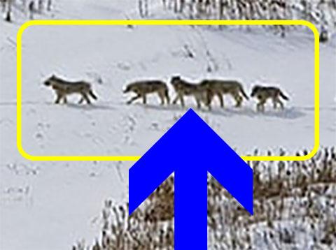 Wolfsrudel Gruppe gelb und Leader blauer Pfeil
