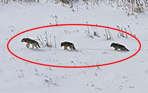 Wolfsrudel Gruppe rot