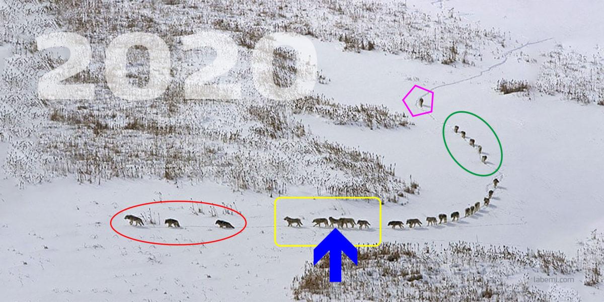 Wolfsrudel durchstreift Schneelandschaft
