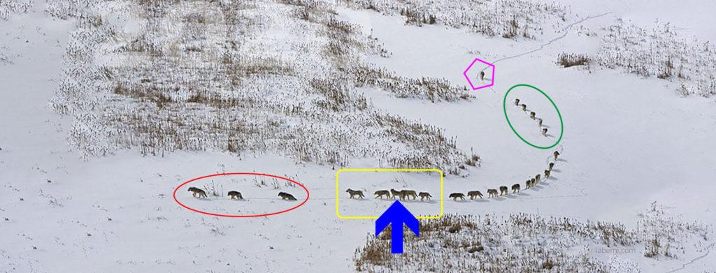 Neue Interpretation der Rollenverteilung in diesem kanadischen Wolfsrudel.